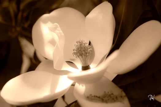 Magnolia in the sunlight